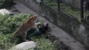 Horrifying images capture moment Siberian tiger mauls defenceless ...