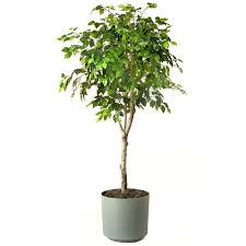 tall office plants. there is also ficus u0027aliiu0027 and u0027amstel kingu0027 u2013 these are both similar to benjamina but have larger leaves that less prone dropping tall office plants o
