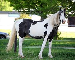 black and white paint horse wallpaper. Beautiful Wallpaper Black White Tovero Paint 4 By Venomxbaby  Intended Black And White Paint Horse Wallpaper N