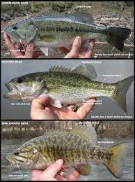 Bass Species Chart Viewing A Thread Small Mouth And Mean Mouth Diffrence