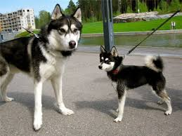 alaskan klee kai size alaskan klee kai recommendations from experts detailed guidelines