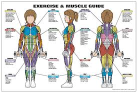 Exercise And Muscle Guide Female Fitness Chart Co Ed