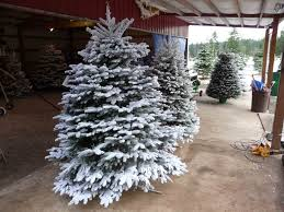 Flocked Christmas Tree Flocked Real Christmas Tree Gardens And Landscapings Decoration
