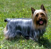 silky dog. silky terrier dog breed r