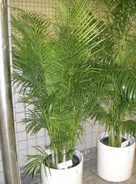 Areca Palm photo credit: Wiki