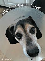 helping your dog adjust to a cone collar brightmind collectivebias