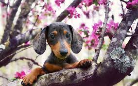 Download wallpapers Dachshund Dog, spring, pets, dogs, muzzle, cute animals, Dachshund for desktop free. Pictures for desktop free