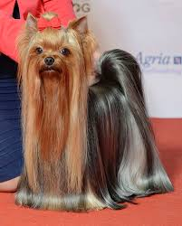 Yorkshire terriers grow fur fast so you'll have time to. Yorkshire Terrier Wikipedia