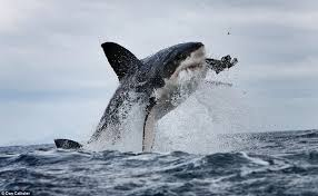 great white shark jumping out of water planet earth. Great White Shark Jumping Out Of Water Planet Earth And