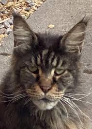 My neighbors cat looks like Ron Perlman