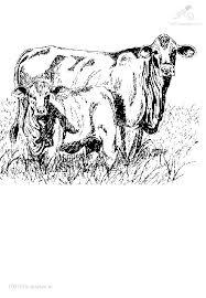 1001 Kleurplaten Dieren Koe Kleurplaat Koe Met Kalfje