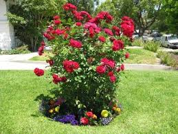 Small Picture 95 best GARDEN TX ROSE images on Pinterest Flowers Garden