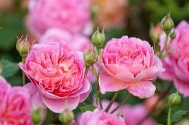 Fragrant RosesFragrant Rose Plants