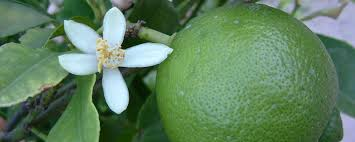 Great Fruit Trees For The Deep South Pt II The Loquat Fruit Trees For North Florida