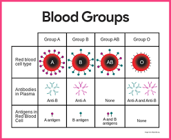 Blood Anatomy And Physiology Eating For Blood Type