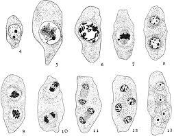 Ricerche Embriologiche su Rudbeckia Missouriensis Engelm ...