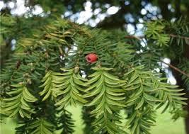 Taxus baccata of venijnboom