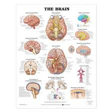 Laminated Anatomical Charts The Brain Anatomical Chart Laminated