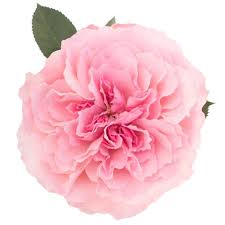Mayra Pink - Garden Rose | Wholesale Flowers And More | Magnaflor