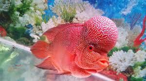 Makanan Ikan Louhan Biar Cepat Jenong Dan Merah