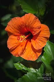 hibiscus flowers water drops orange hibiscus flower kauai hawaii art photograph by