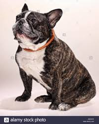 French Bulldog (9 years old Stock Photo ...