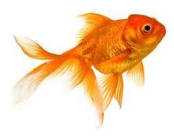 Goldfish Feeding Chart What Do Goldfish Eat Lovetoknow