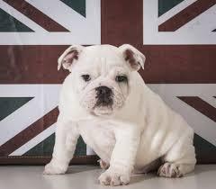english bulldog full grown. Interesting Bulldog Bullies Were Originally Bred In England Before Taking The US By Storm For English Bulldog Full Grown Dog Care  Daily Puppy