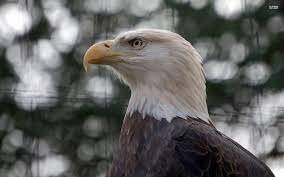 14 - Bald eagle pics live wallpaper ...