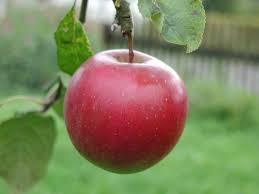 apple food. apple food c