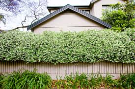 Best Climbing Plants  Burkeu0027s BackyardWall Climbing Plants Australia