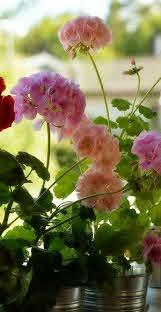flower wallpaper background rose