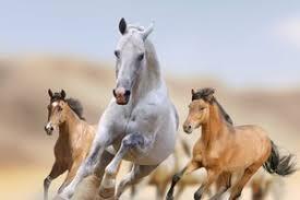 wild horses mustang running. Interesting Mustang On Wild Horses Mustang Running M