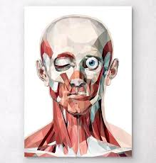 face anatomy geometrical face anatomy poster codex anatomicus