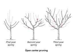 Grow The Most Amazing Fruit  By Pruning Your Fruit Trees Prune Fruit Tree