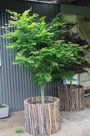 advanced trees for courtyards and trees suitable for pots