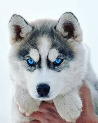 baby siberian husky with blue eyes. Brilliant Husky And Baby Siberian Husky With Blue Eyes