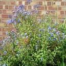 Canothe : arbuste persistant fleurs bleues - conseil jardinerie