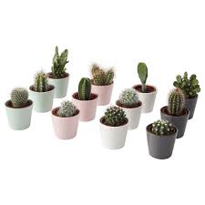 Potted Plant With Pot Cactaceae Cactus Assorted