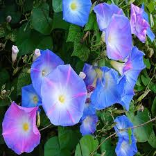ReadyStock   <b>100pcs Morning Glory</b> Seeds Mixed Color Outdoor ...