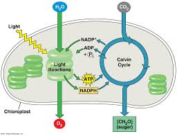 Light Cycle Photosynthesis Photosynthesis Basics Diagram Quizlet