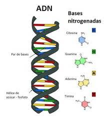 Resultado de imagen de acidos nucleicos