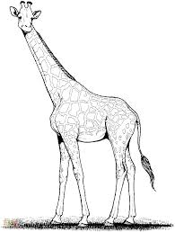 Printable Coloring Pages coloring page giraffe : Giraffe With Small Ears | Giraffes | Pinterest | Giraffe