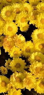 Yellow flower wallpaper, Yellow flowers ...