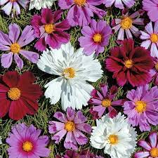 cosmos double all sorts mix annual flower seeds