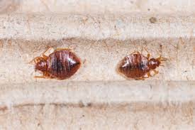 Size Of Bed Bugs Chart What Bed Bugs Look Like And Helpful Advice Terminix