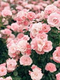 710 Pink roses ideas in 2021