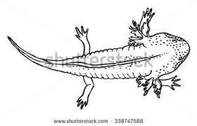 Small Picture Axolotl Stock Images Royalty Free Images Vectors Shutterstock