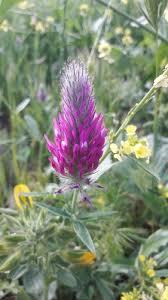 Purple Clover (Trifolium purpureum) · iNaturalist.org