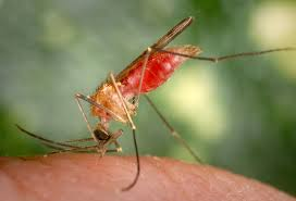Do Mosquitoes Come To Light A Mosquitos Secret Weapon A Light Touch And Strong Wings
